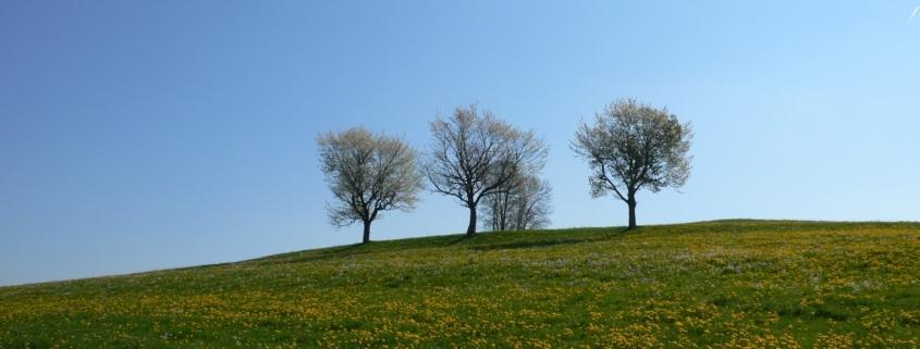 baumgruppe auf fruehlingswiese